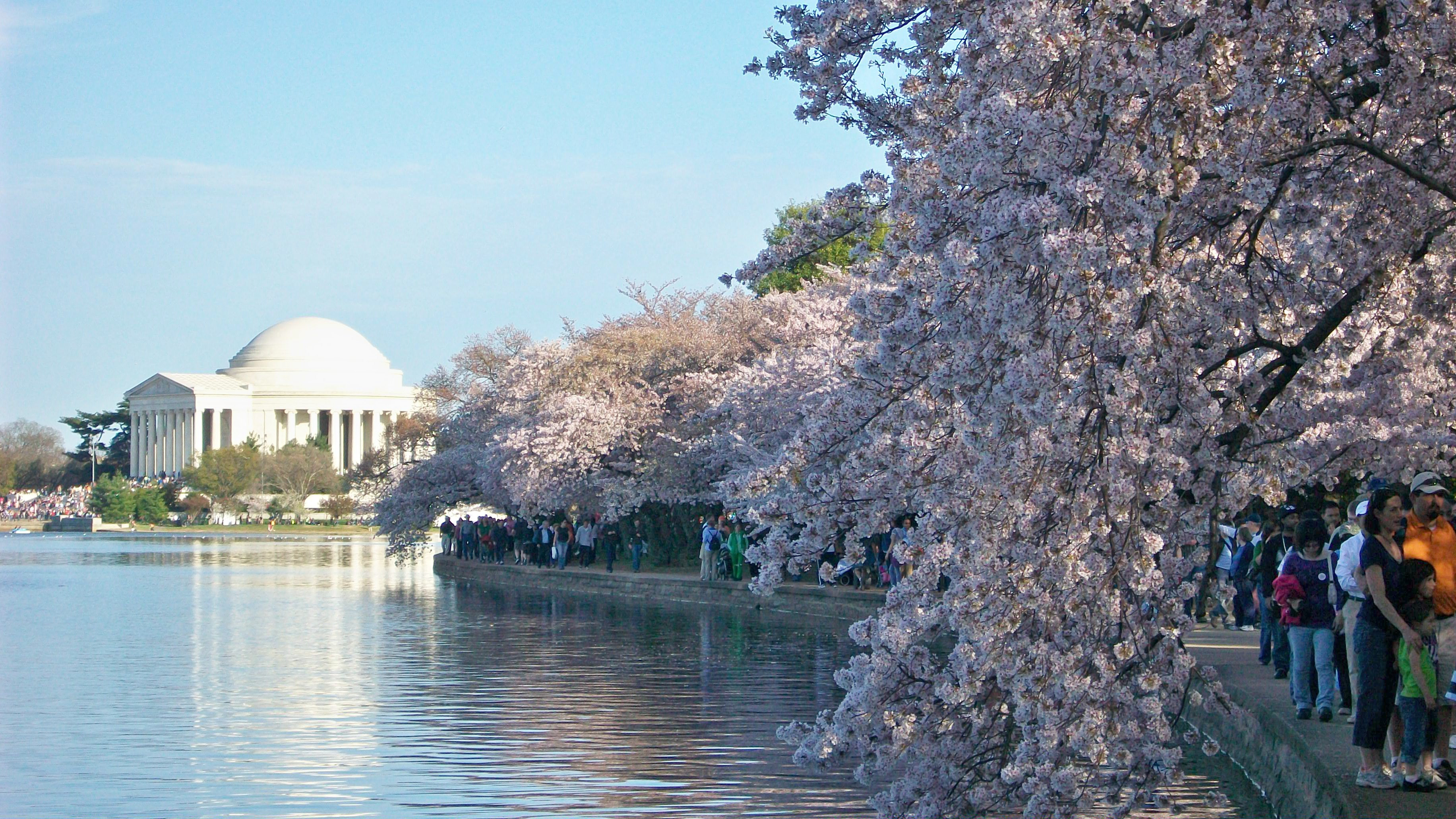 Cherry Blossoms Washington DC Courtesy of National Cherry Blossom Festival