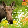 Flower-Moose---Wayde-Carroll - Courtesy of VisitAnchorage