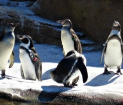 Penquins at Woodland Park Zoo Courtesy of Mary Jo Manzanares