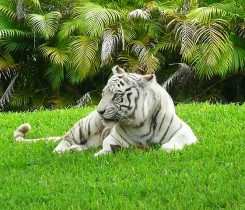 White_Bengal_tiger_Miami_MetroZoo Courtesy of Marc Averette