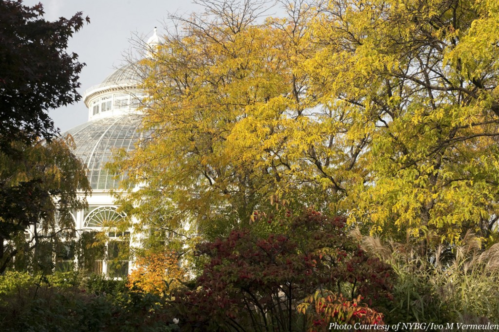 Beautiful fall foliage with the Conservatory in the background. Fall Color at The New York Botanical Garden are a sight to see.