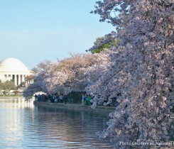 Cherry Blossoms with the Jefferson Memorial across the Tidal Basin